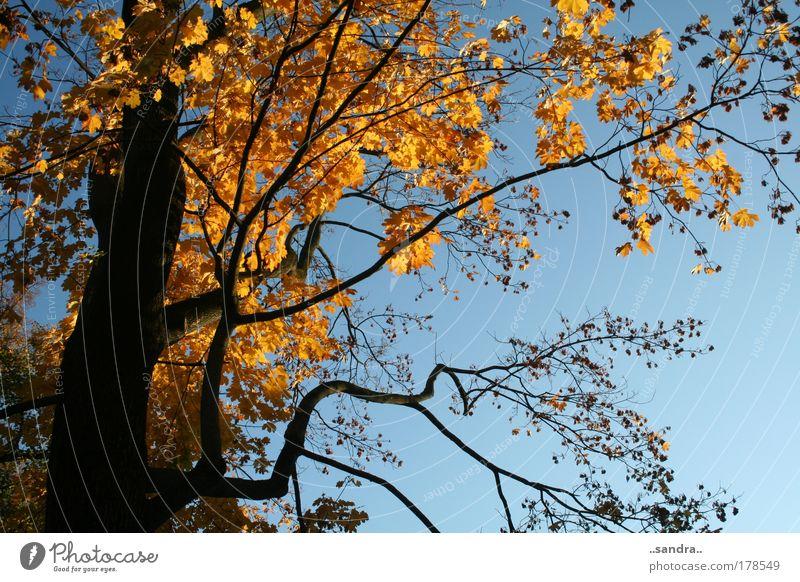 herbstgold Farbfoto Außenaufnahme Tag Froschperspektive Natur Pflanze Himmel Sonne Schönes Wetter Baum Blatt Holz Gold ästhetisch groß blau schwarz ruhig Kraft