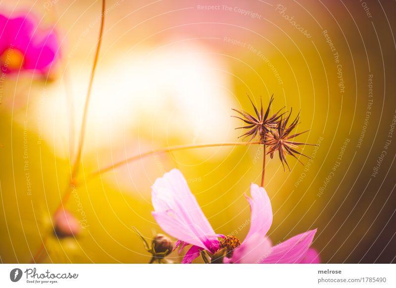 QUER-ulanten elegant Stil Umwelt Natur Sommer Schönes Wetter Pflanze Blume Gras Sträucher Blüte Wildpflanze Sternblumen Blütenstiel Blütenblatt Wiese Farbfleck