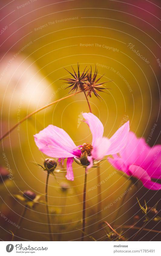 ineinander verstrickt elegant Stil Natur Pflanze Sommer Schönes Wetter Blume Gras Sträucher Blüte Wildpflanze Blütenblatt Blütenknospen Sommerblumen