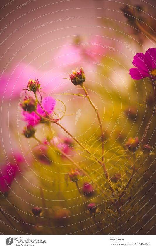 pinkisch heute elegant Stil Natur Pflanze Sommer Schönes Wetter Blume Sträucher Wildpflanze Pflanzenteile Blütenknospen Blütenstiel Blumenwiese Garten Wiese