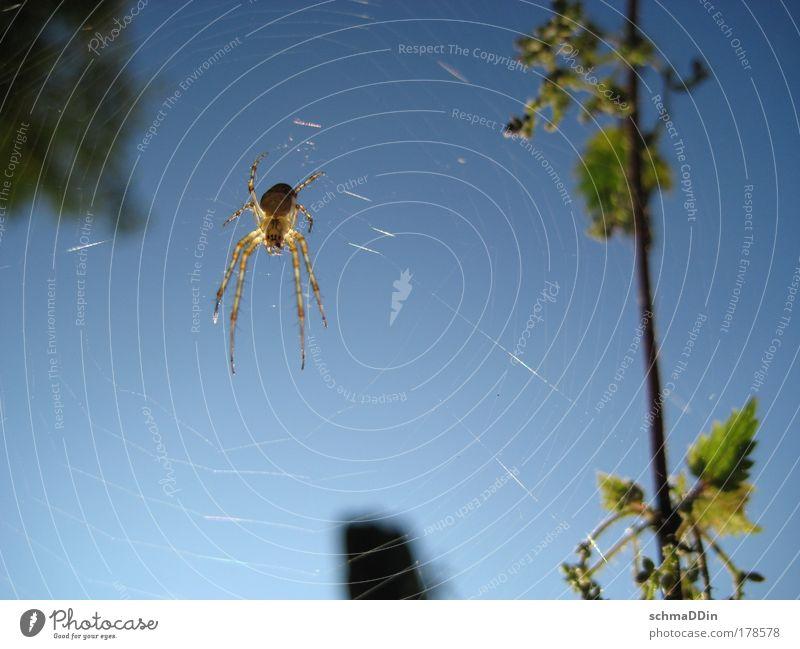 Kreuzspinne im Fadenkreuz Farbfoto Außenaufnahme Makroaufnahme Tag Sonnenlicht Gegenlicht Schwache Tiefenschärfe Ganzkörperaufnahme Blick nach unten Schielen