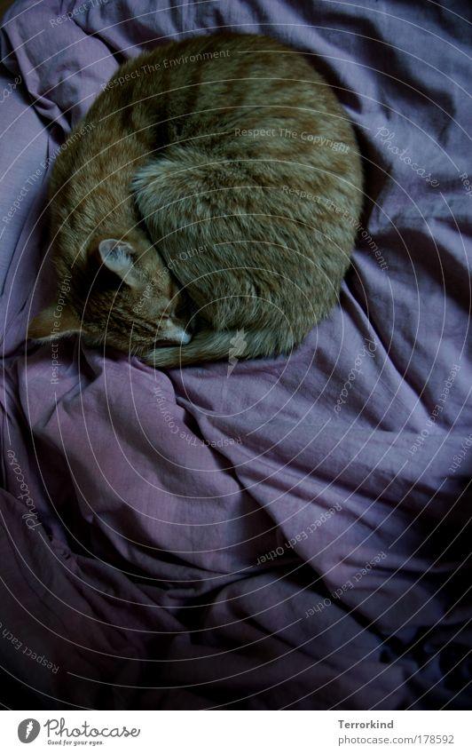 dunkel. Katze Tier frei schlafen Bett violett Hauskatze bewegungslos Kuscheln Raubkatze eingeengt