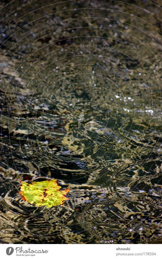 Vergänglichkeit Farbfoto Textfreiraum links Textfreiraum rechts Textfreiraum oben Textfreiraum Mitte Umwelt Natur Wasser Wassertropfen Herbst Blatt Ahorn Wellen