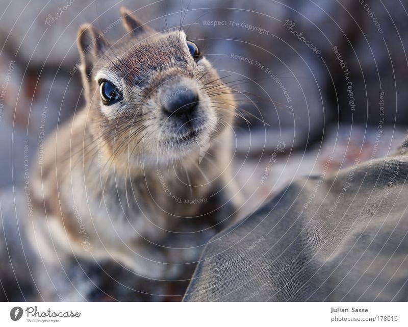 squril Natur Tier süß Neugier tierisch hocken Eichhörnchen Nagetiere Makroaufnahme