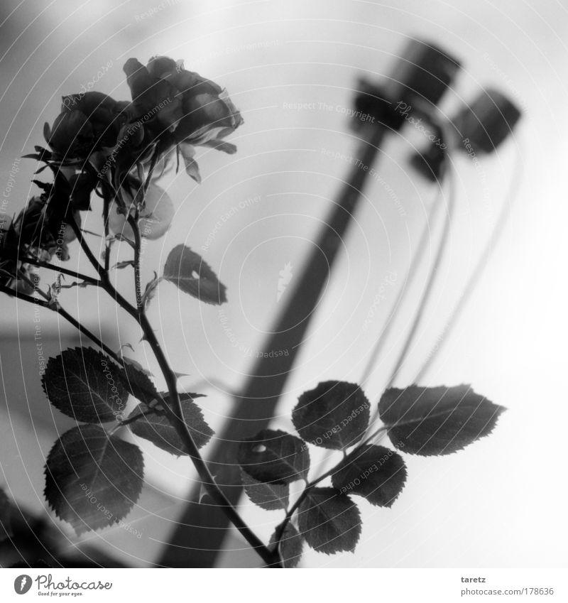 Elektrorosen Sommer schwarz dunkel Rose modern ästhetisch Technik & Technologie Kommunizieren Kabel Freizeit & Hobby Häusliches Leben natürlich Duft Strahlung
