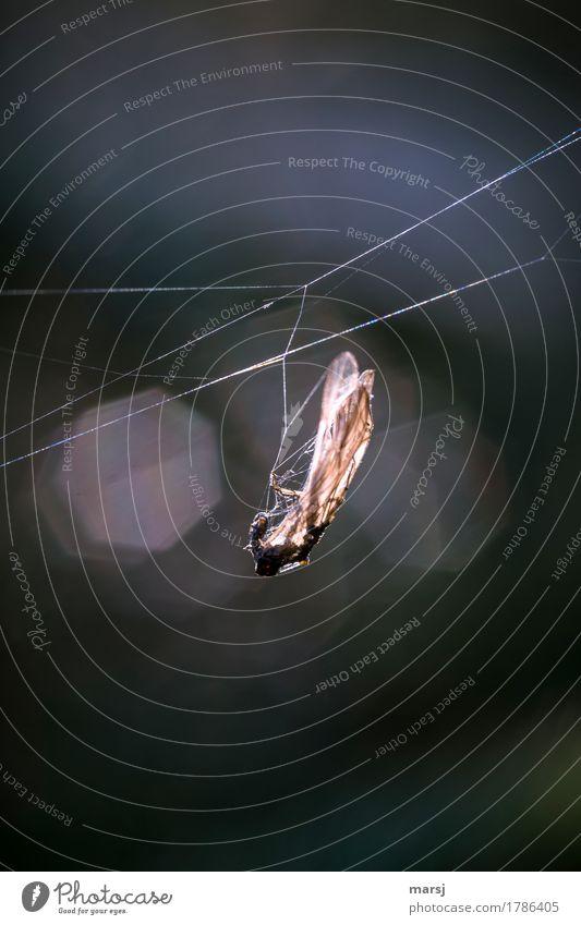 Vorratshaltung Tier dunkel Tod authentisch dünn Insekt hängen gefangen Spinngewebe Hinterhalt durchleuchtet grausam makaber hinterhältig