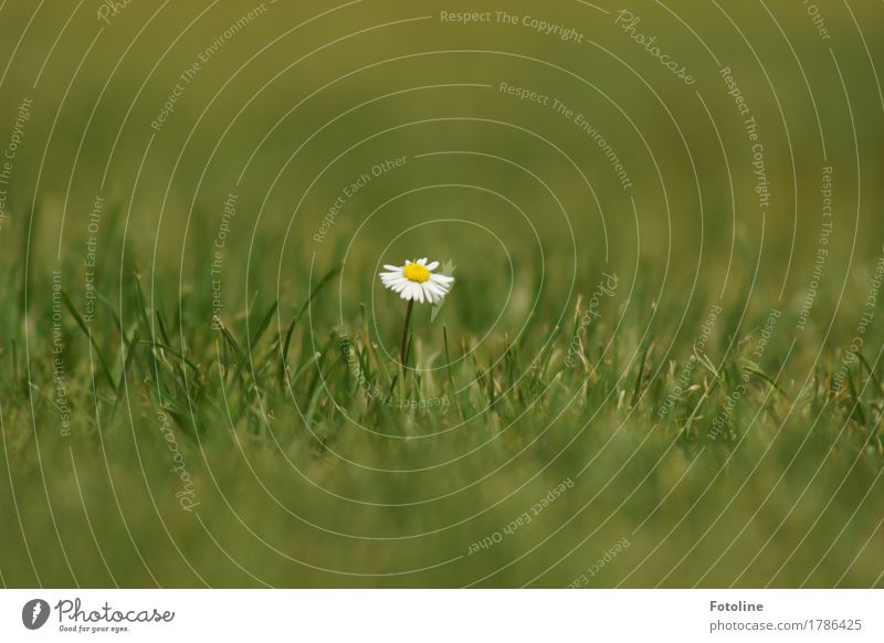 einsames Gänseblümchen Umwelt Natur Pflanze Sommer Schönes Wetter Blume Gras Blüte Grünpflanze Garten Park Wiese nah natürlich gelb grün weiß sommerlich Blühend