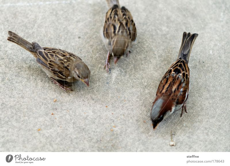 flotter Dreier Farbfoto Außenaufnahme Tierporträt Wildtier Vogel Spatz 3 füttern Ernährung
