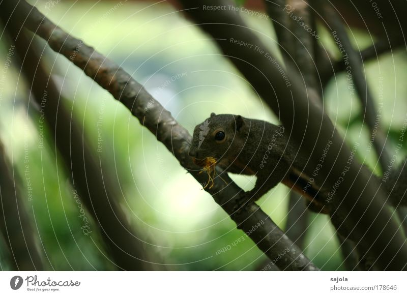 erwischt Umwelt Natur Tier Pflanze Baum Zweige u. Äste Wildtier Eichhörnchen 1 niedlich braun grün Klettern Fressen fangen Blick beobachten Botanischer Garten