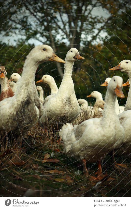nicht mehr lang bis weihnachten... Farbfoto Außenaufnahme Menschenleer Textfreiraum unten Tag Tierporträt Blick in die Kamera Festessen Natur Nutztier Ente