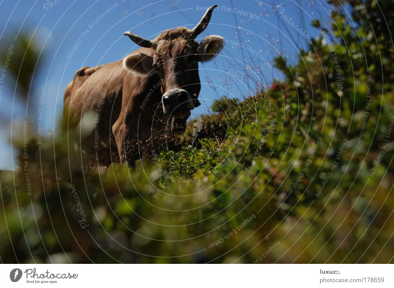 Kuh Tierporträt Erholung Ferien & Urlaub & Reisen Tourismus Berge u. Gebirge wandern Natur Alpen Tradition Umwelt Bioprodukte Alpabzug Almabtrieb Sennerei