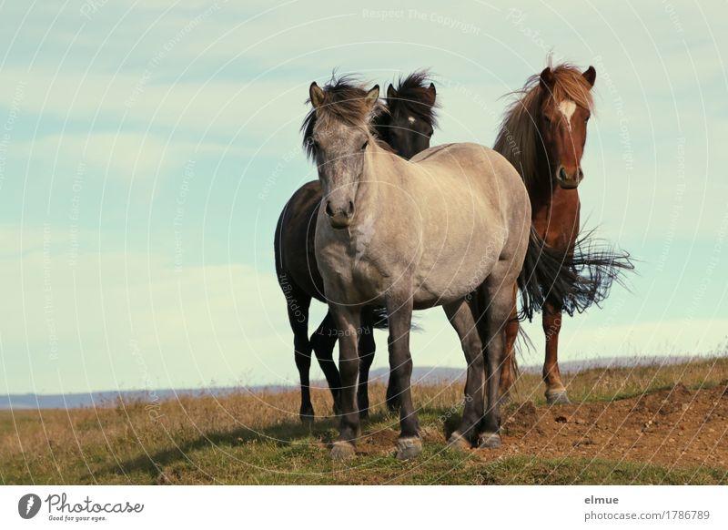 neugierige Isländer Ferien & Urlaub & Reisen Wind Island Pferd Island Ponys Mähne Schwanz Schimmel Brauner Rappe Tiergruppe Kommunizieren stehen authentisch