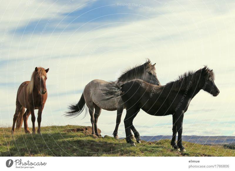 Isländer Ferien & Urlaub & Reisen Natur Schönes Wetter Wind Island Pferd Island Ponys Rappe Schimmel Brauner Mähne Tiergruppe Kommunizieren stehen sportlich