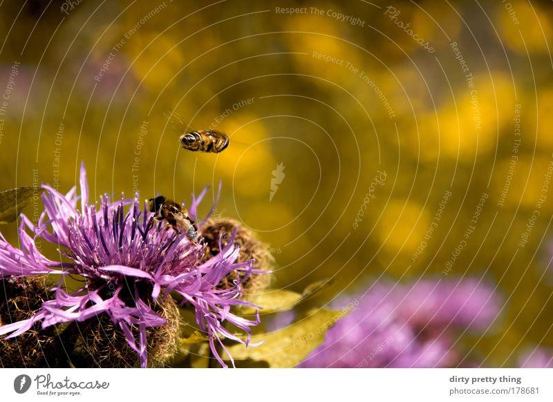 Bienchen und Blümchen Natur Pflanze Sommer Tier gelb Berge u. Gebirge fliegen violett Biene