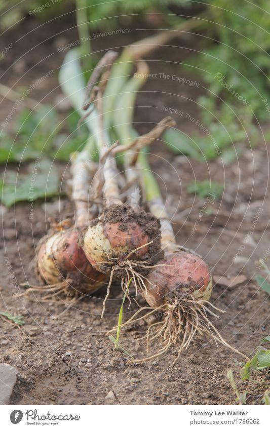 Frische Zwiebel Gemüse Lifestyle Natur Erde dreckig gut trendy lecker Tatkraft schön Tradition organisch Geschmacksrichtungen Ernte gebastelt Lebensmittel