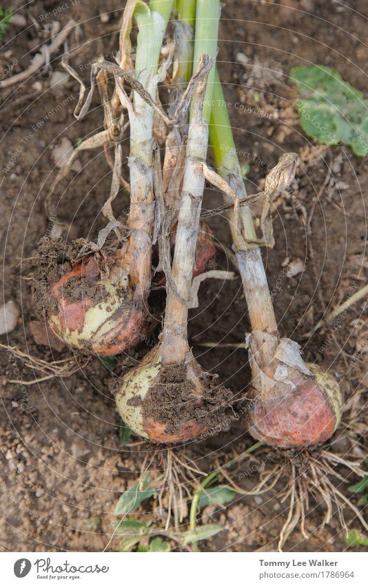 Handverlesene Zwiebel Gemüse Lifestyle Natur Erde dreckig lecker Tradition organisch Geschmacksrichtungen Ernte gebastelt Lebensmittel Hausanbau
