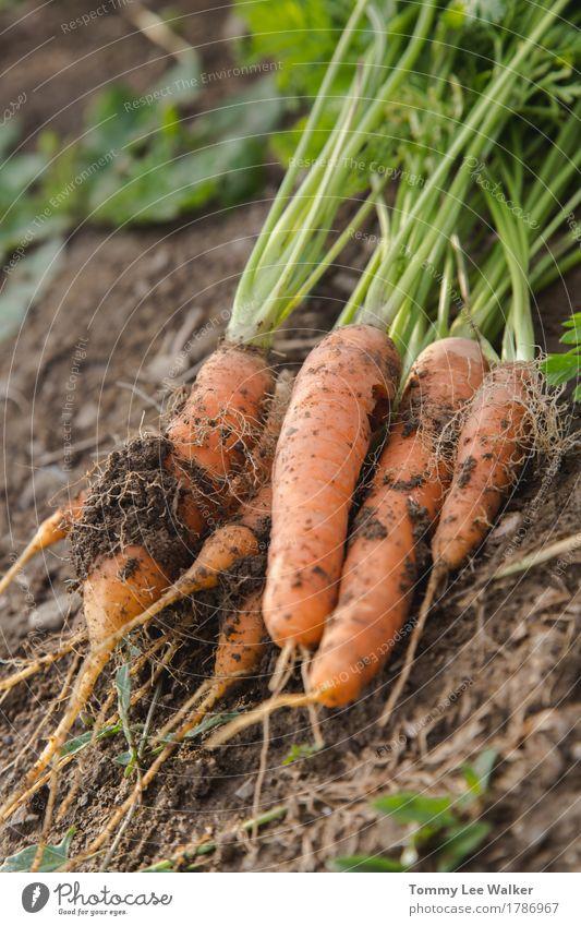 Frisches Karotten Bündel Gemüse Lifestyle Natur Erde dreckig lecker Tradition organisch Geschmacksrichtungen Ernte gebastelt Lebensmittel Hausanbau Möhre