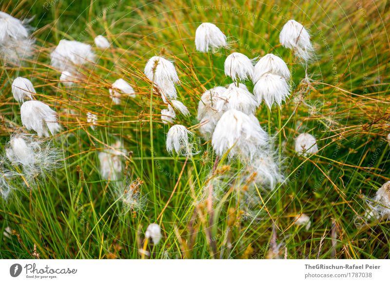 Pflanze Natur braun gold grün weiß Watte weich Blume Moor Gras Außenaufnahme berühren Farbfoto Detailaufnahme Menschenleer Tag