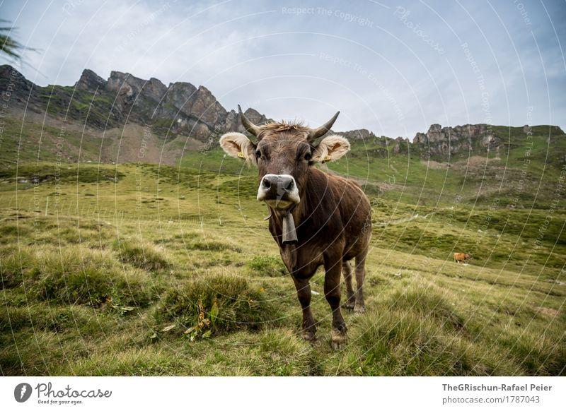 Kuh Tier Nutztier 1 blau braun grün Glocke Horn Nase Neugier Außenaufnahme Fressen Weide Berge u. Gebirge Milch Ohr Schweiz Glück Farbfoto Textfreiraum oben Tag
