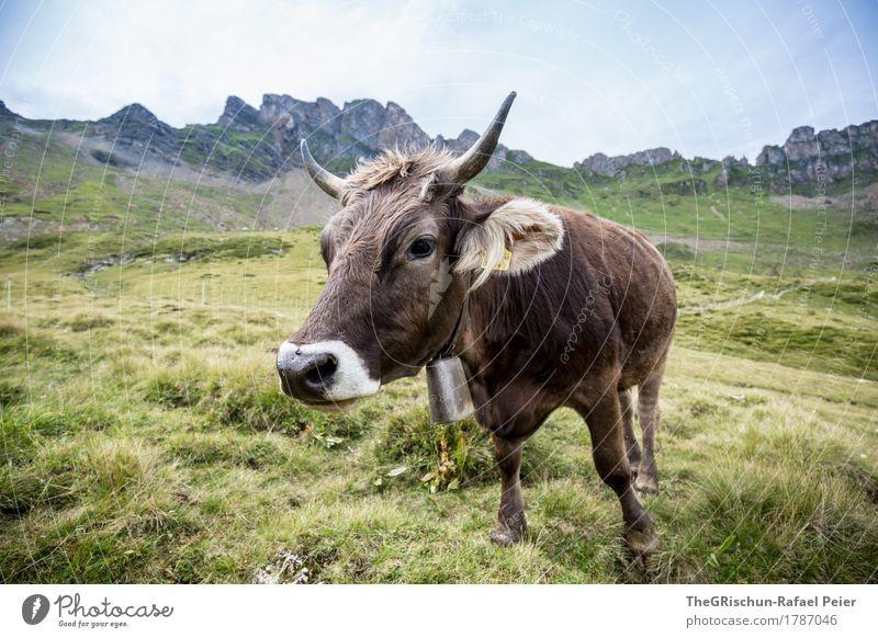 KUH III Tier Nutztier Kuh 1 braun grün schwarz weiß Glocke Horn Nase Neugier Milch Berge u. Gebirge Aussicht Weide Fressen Farbfoto Außenaufnahme Menschenleer