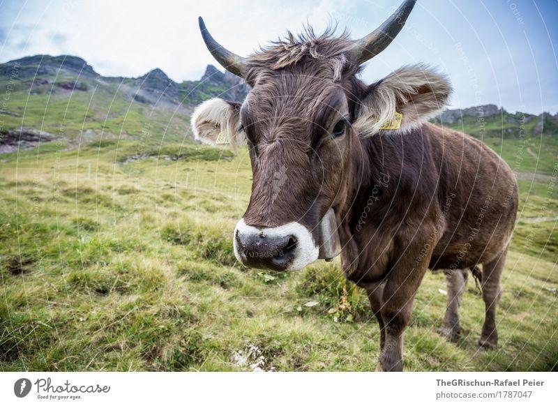 KUH IV Tier Nutztier Kuh 1 braun grün schwarz weiß Lebewesen Außenaufnahme Neigung Horn Ohr Weide Fressen Essen Alpen Berge u. Gebirge Glocke Schweiz Fell