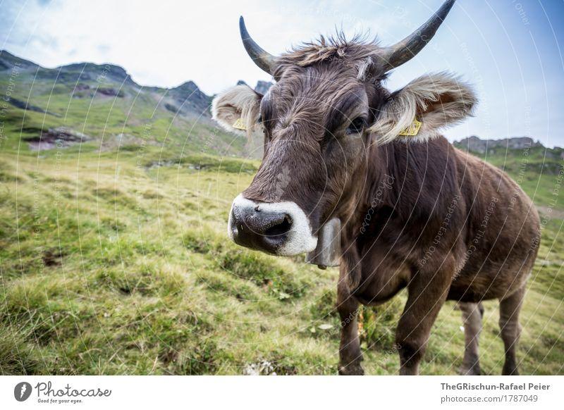 Schweizer Kuh grün weiß Tier Berge u. Gebirge schwarz Gras Glück braun niedlich Alpen Weide Ohr Fell Fressen