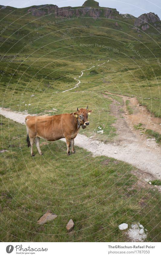 Kuh Tier Nutztier 1 braun grau grün schwarz weiß Wege & Pfade Alpen Weide Berge u. Gebirge Horn Stein Außenaufnahme Milch Gras Farbfoto Menschenleer