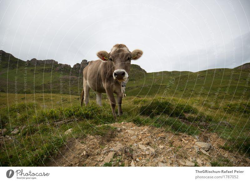 Kuh Tier Nutztier 1 braun grau grün schwarz weiß Lebewesen Fell Ohr Gras Berge u. Gebirge Milch Außenaufnahme Fressen Weide Schweiz Farbfoto Textfreiraum links