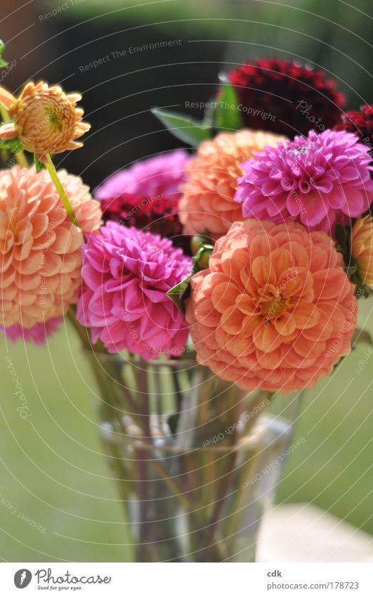 schönherbst Natur Blume grün Pflanze rot Freude Leben Herbst Gefühle Blüte Garten Park Zufriedenheit Feste & Feiern rosa