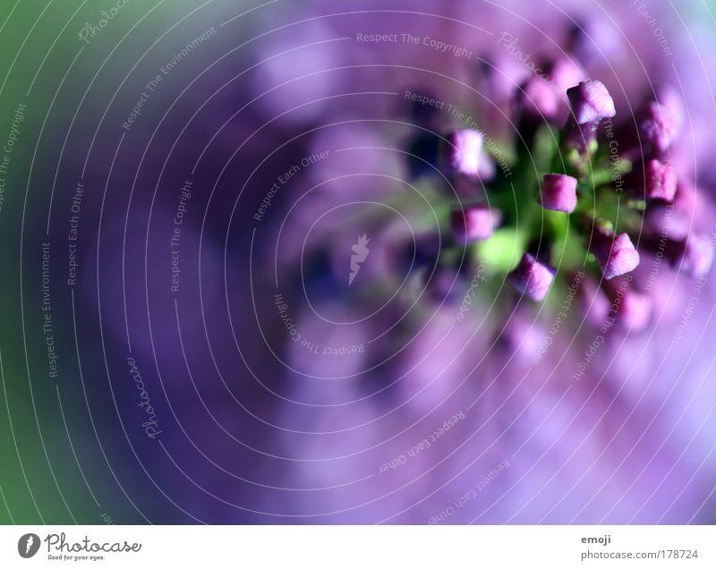 lilaaahh Natur Pflanze Sommer Blüte Frühling violett