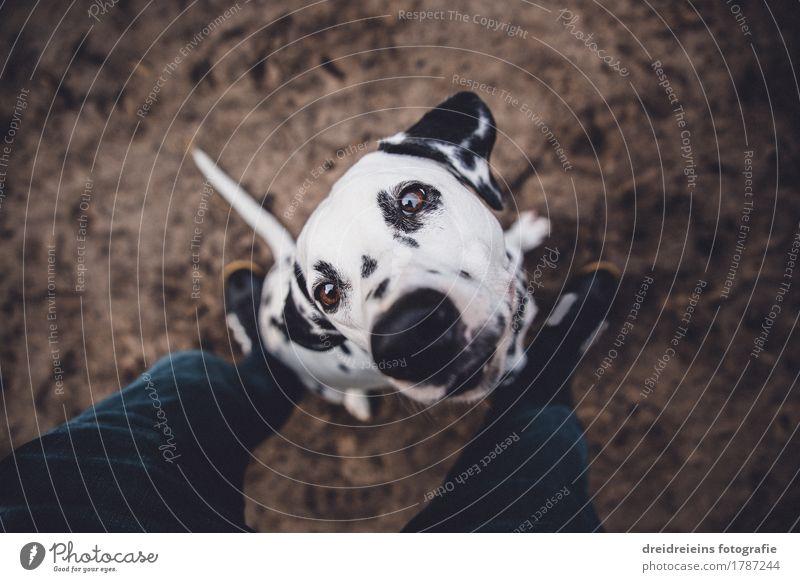 Futter? Tier Haustier 1 Blick sitzen frech Freundlichkeit natürlich warten Neugier Treue Erwartung Dalmatiner Charakter loyal Ehrlichkeit Beine Bodenbelag