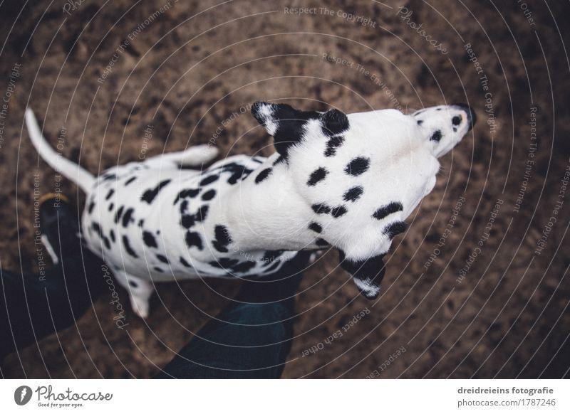 Was ist da? Tier Haustier Hund 1 sitzen warten niedlich Treue Erwartung Dalmatiner Charakter loyal Wachsamkeit Ehrlichkeit Beine Bodenbelag Ungeduld Weitwinkel