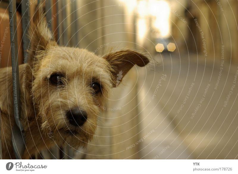 Struppi der Verkehrspolizist Hund Tier Straße Wärme Freundschaft gold Verkehr beobachten fahren Neugier Fell Tiergesicht Verkehrswege Wachsamkeit Kontrolle Haustier