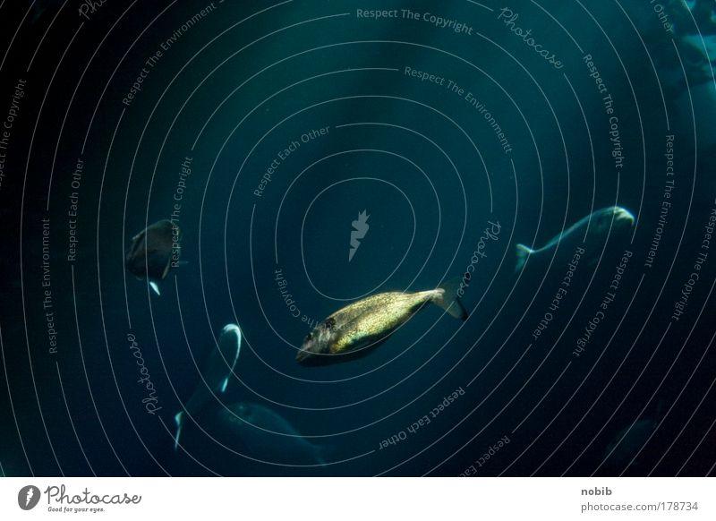 goldfisch Wasser Meer blau ruhig Tier glänzend gold Fisch Tiergruppe tauchen Aquarium Unterwasseraufnahme Sommerurlaub Schuppen