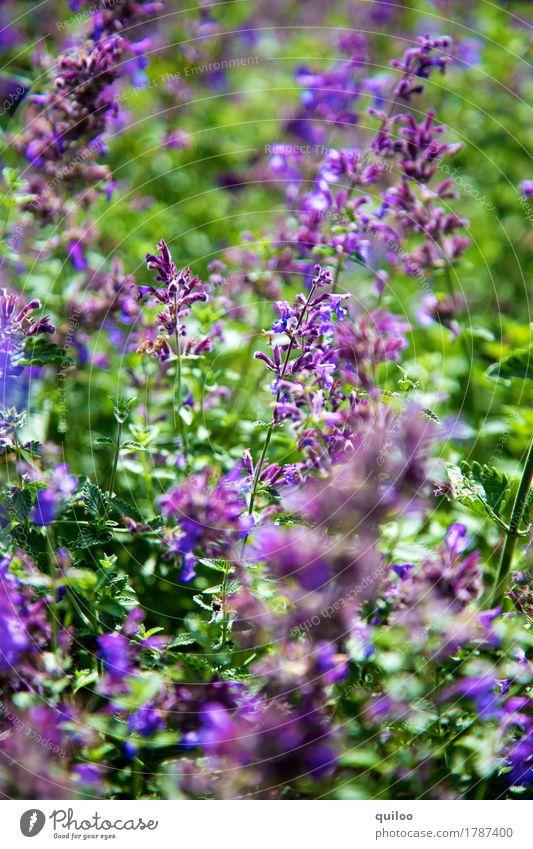 Lavendel Natur Pflanze grün schön Umwelt Feld frisch violett Duft saftig