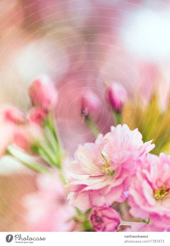Kirschblüten Natur Pflanze Farbe schön grün Blume Umwelt Blüte Frühling Wiese natürlich Garten rosa springen Park Wachstum
