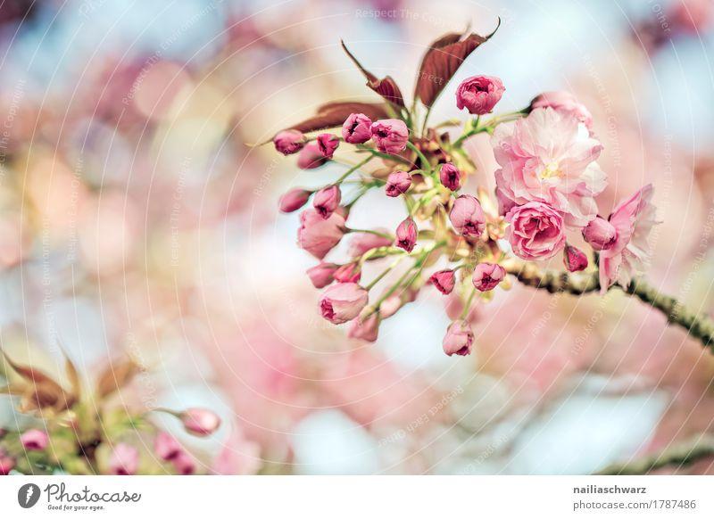 Kirschblüten im Frühling Umwelt Natur Pflanze Schönes Wetter Baum Blatt Blüte Nutzpflanze Kirsche Kirschbaum Obstbaum Ast Zweig Garten Park Blühend Duft
