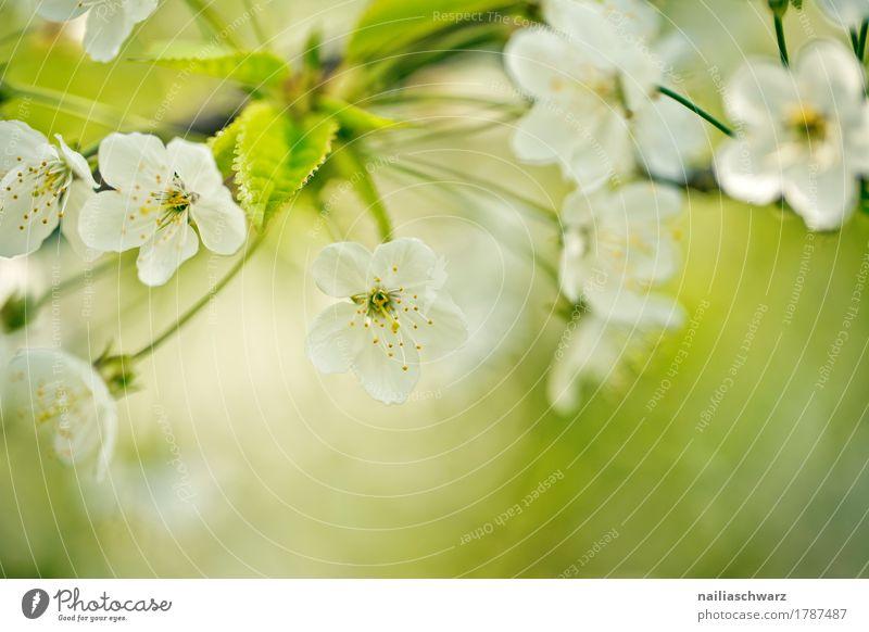 Kirschbaum im Frühling Umwelt Natur Pflanze Baum Blume Blüte Nutzpflanze Kirschblüten Zweige u. Äste Garten Park Blühend Duft springen Wachstum frisch natürlich