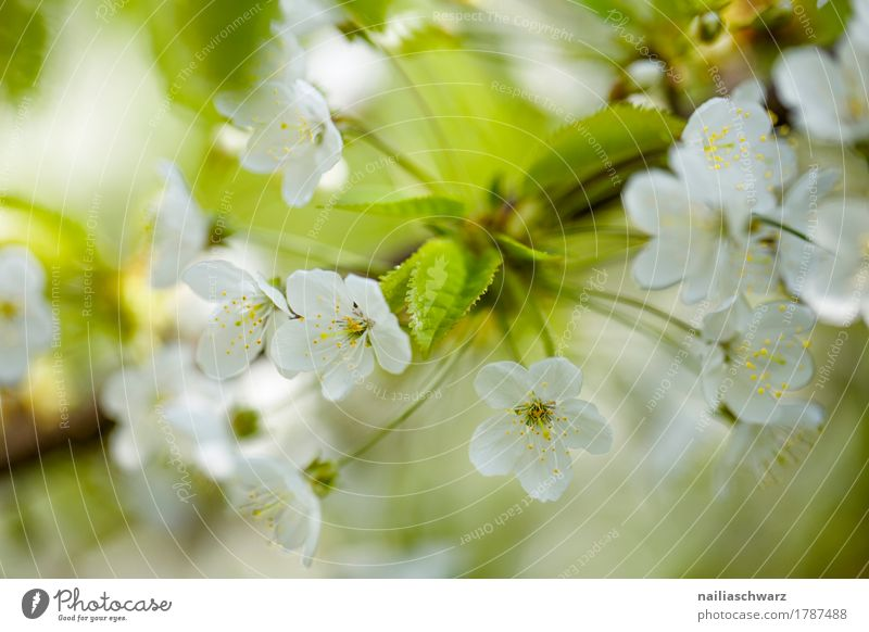 Kirschblüte Natur Pflanze Frühling Baum Blume Blüte Nutzpflanze Ast Zweig Kirschblüten Garten Park Blühend Duft springen Wachstum frisch natürlich schön grün