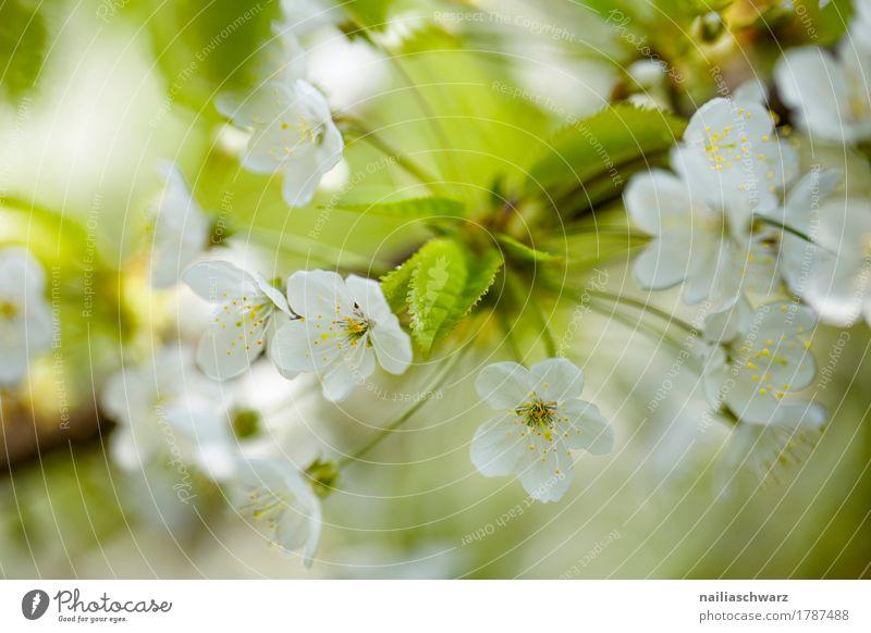 Kirschblüte Natur Pflanze schön grün weiß Baum Blume Blüte Frühling natürlich Garten springen Park Wachstum frisch Idylle