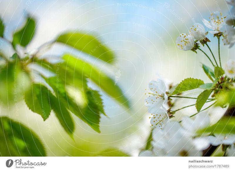 Kirschblüten Natur Himmel Frühling Schönes Wetter Pflanze Baum Blume Blatt Blüte Grünpflanze Nutzpflanze Ast Park Blühend Duft springen nah natürlich positiv