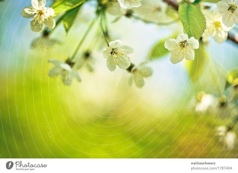 Frühling Umwelt Natur Pflanze Schönes Wetter Baum Blume Blatt Blüte Nutzpflanze Kirsche Kirschblüten Kirschbaum Garten Park springen Duft Fröhlichkeit frisch