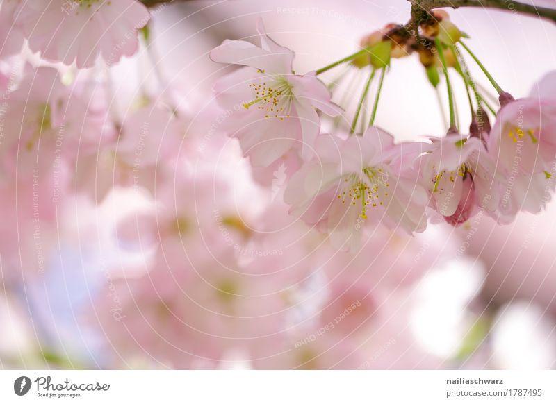 Kirschblüten im Frühling Umwelt Natur Pflanze Sommer Baum Blüte Nutzpflanze Kirsche Kirschbaum Garten Park Blühend Duft springen elegant frisch natürlich