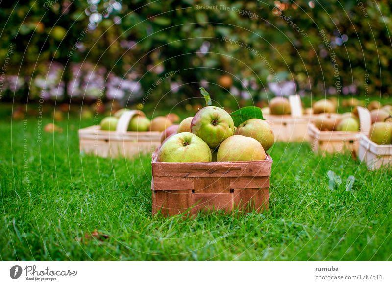 Apfelernte Natur grün gelb Wiese Gesundheit frisch Rasen Bioprodukte Ernte reif saftig geduldig Korb pflücken