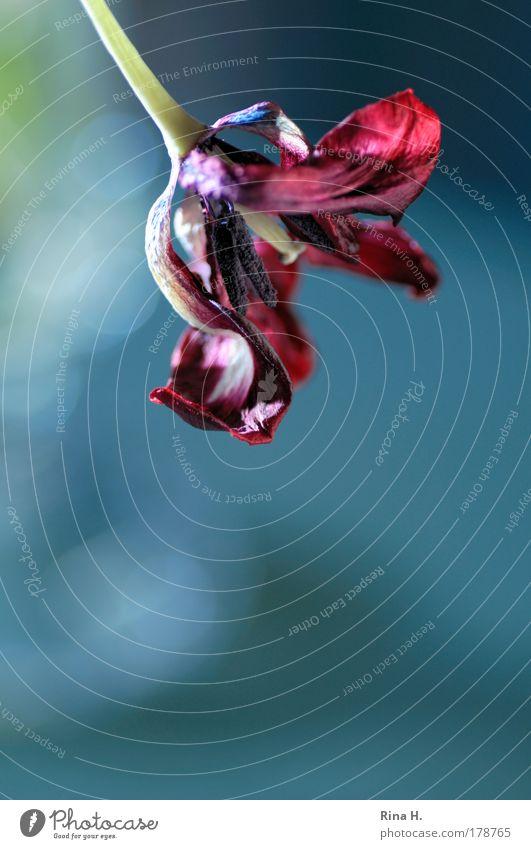 Im Auge des Betrachters Farbfoto Makroaufnahme Textfreiraum unten Reflexion & Spiegelung Gegenlicht Zentralperspektive Blume Tulpe Blüte alt verblüht