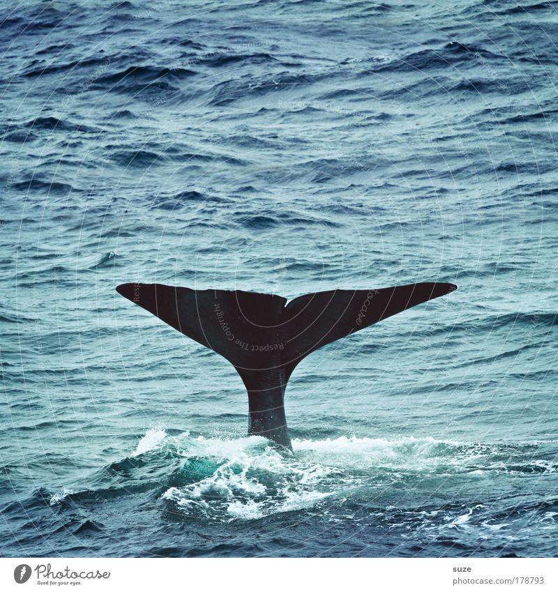 Moby Dick Umwelt Natur Pflanze Tier Klima Wellen Meer Wildtier Wal Pottwal Flosse Schwanzflosse 1 tauchen außergewöhnlich blau Freiheit Zukunft Tierschutz