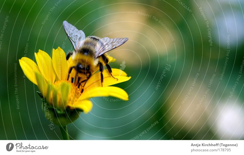 Nur noch ein winziger Flügelschlag... Natur Blume grün Pflanze Sommer Tier gelb Blüte Frühling Landschaft fliegen 1 Unendlichkeit Blühend Biene