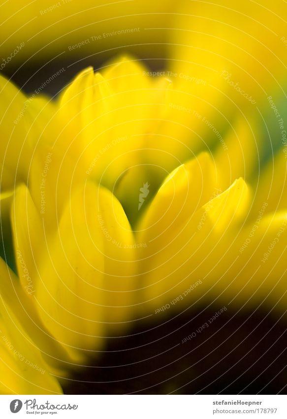 Sunflowers Farbfoto Menschenleer Textfreiraum unten Morgen Sonnenlicht Schwache Tiefenschärfe harmonisch Wohlgefühl Zufriedenheit Dekoration & Verzierung Umwelt