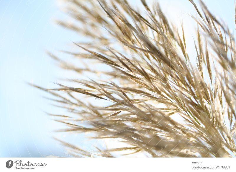 lockerflockigleichtundluftig Natur Himmel weiß blau Pflanze Winter hell Sträucher weich Schönes Wetter Pampasgras