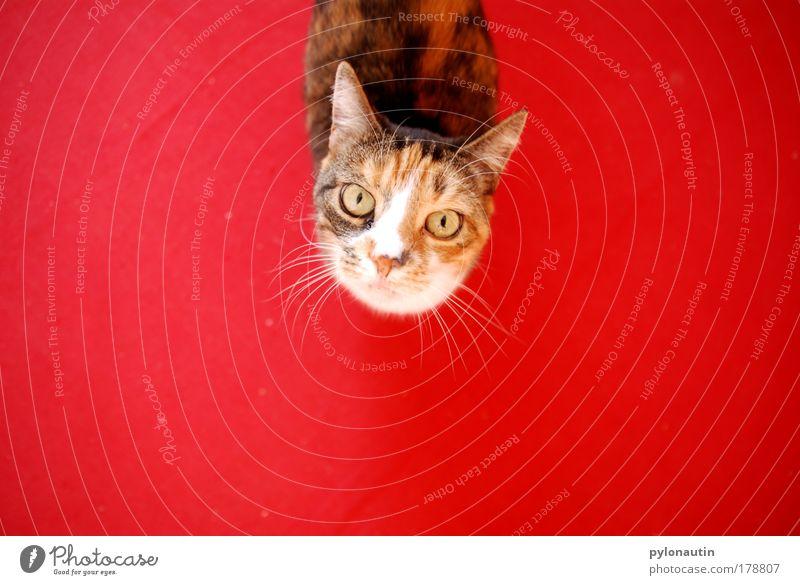 Red Cat rot Auge Tier Katze Ohr Fell Bodenbelag Haustier Teppich Vogelperspektive Hauskatze Schnurrhaar Miau